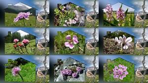 Pink Alps Flowers - Rosa Alpenblumen