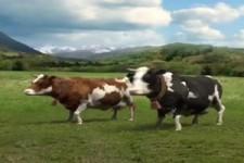Kühe machen Musik