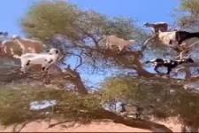 Der Ziegenbaum