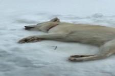 Hund schleckt entspannt Schnee
