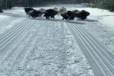 Kleine Herde im Anmarsch