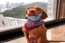 Hund zieht sich Mundschutz an
