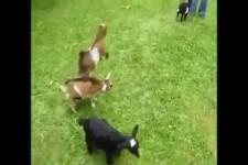 Aufgeregte kleine Ziege