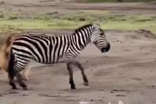Animal-attack-1