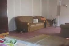 Lustige Hunde spielen Verstecken