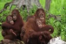 Goldige Orang Utans haben Angst vor der Schlange