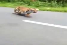 Ziemlich schnell der Tiger