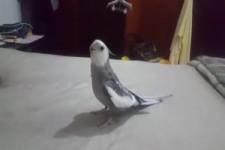 Musikalischer Papagei
