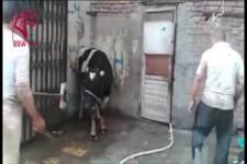 Cow-Kick
