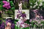 Lilacs---Flieder.ppsx auf www.funpot.net