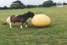 Dieses Pony liebt das Ball spielen