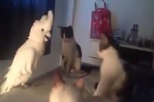 Kakadu macht Katzengeräusche