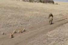 Löwenausflug mit Papa