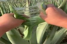 so sieht Aloe Vera im Inneren aus