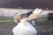 Hund springt auf Alpaka