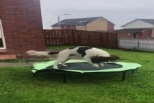 Hund springt auf dem Trampolin