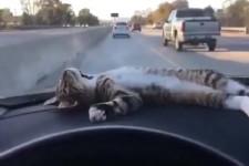 Gechillte Katze im Auto