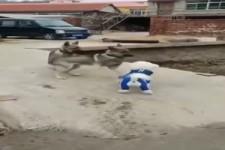 Hund ist suspekt wegen seiner Kleidung