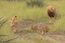 Brüll-Übungen der kleinen Löwen