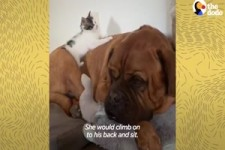 135-Pound Mastiff Becomes Obsessed With A Tiny Kitten -
