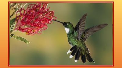 Colibris - Kolibri ... nicht blättern