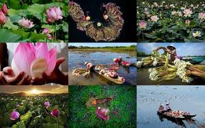 Lotus Harvest - Lotus-Ernte