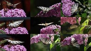 Der Segelfalter - Schmetterling