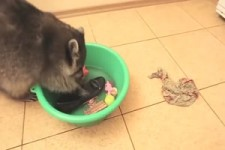 Waschbär wäscht alles