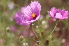 Fleurs 52 - Blumen 52