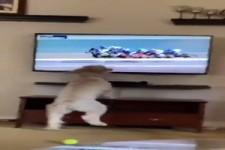 Hund guckt Pferderennen