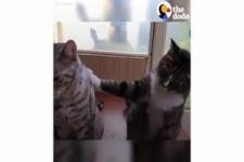 Didga und Boomer, zwei talentierte & trainierte Katzen