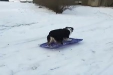 Hund liebt das Bob fahren