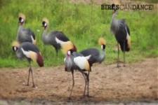 Vögel können tanzen
