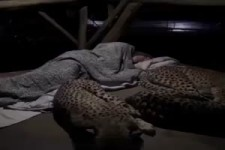 Kuschelige Raubkatzen