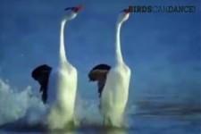 wenn Vögel tanzen