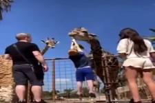 Die Giraffe hat Kraft