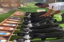 Fütterung der Ziegen