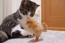 Kätzchen und Kücken. Idyllisch
