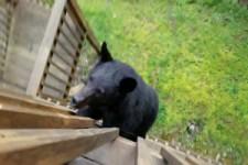 Bären-Besuch