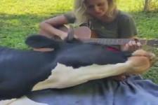 Diese Kuh liebt das Gitarre-Spiel