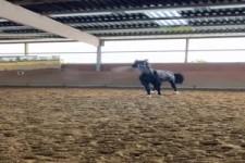 Schnaubendes Pferd
