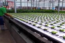 Salat maschinell anbauen
