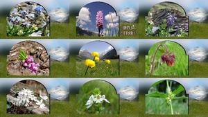 Alpine Flowers - Alpenblumen